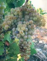 Origin and cultivation area: This grape variety is cultivated everywhere in Sicily except in the provinces of Trapani and Palermo.