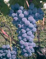 Origin and cultivation area: there is no information on the area of origin of this grape variety.