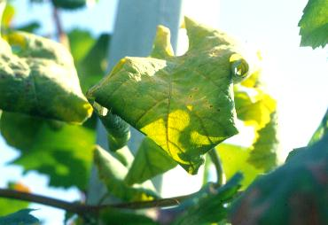 Recovery: cases of study on grapevines FD/Prosecco in Valdobbiadene (Treviso,
