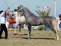 So, coming in second was *Magic Perfection (Windsprees Mirage x Aisha bint Shahil) owned by Fontanella Magic Arabian while *Imperial Beveerah (Imperial Baarez x