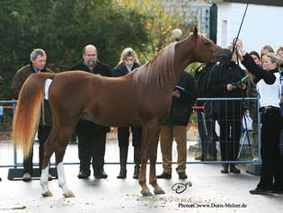 Qualunque stallone deve sapersi mettere in posa, anche se è stato allevato per l endurance o le corse Any stallion needs to be able to do a stand-up, even if he was bred to be an endurance or race
