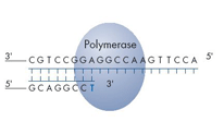 Step 1 A sequencing primer is hybridized to a single-stranded PCR amplicon that serves as a template, and incubated with the enzymes,