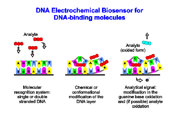 The DNA biosensor uses the interaction of a superficial layer of nucleic acid (single or double stranded) with low molecular weight molecules for accumulating and detecting them.