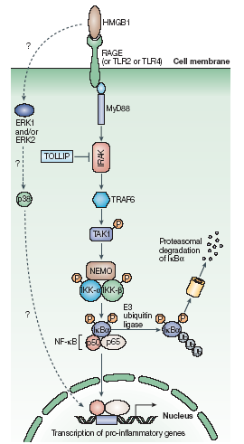 FIG. 4 Signalling pathways downstream of RAGE, TLR2 and TLR4 that mediate the effects of HMGB1 [101].