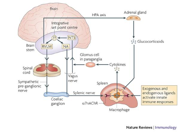 Inflammation: routes of
