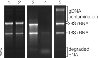 Intact High Quality RNA Characterized by: Two prominent rrna Bands