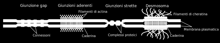Giunzioni cellulari Gap junction: tessuto muscolare Tight junction:
