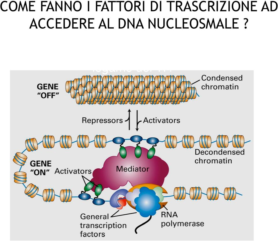 L incorporazione del DNA in