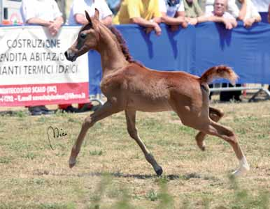 Futurity Maschi Male AILOIS 2 a Cl. Futurity Maschi/2 a Pl. Futurity Male IMPERIAL STARS 1 a Cl. Futurity Maschi/1 a Pl.