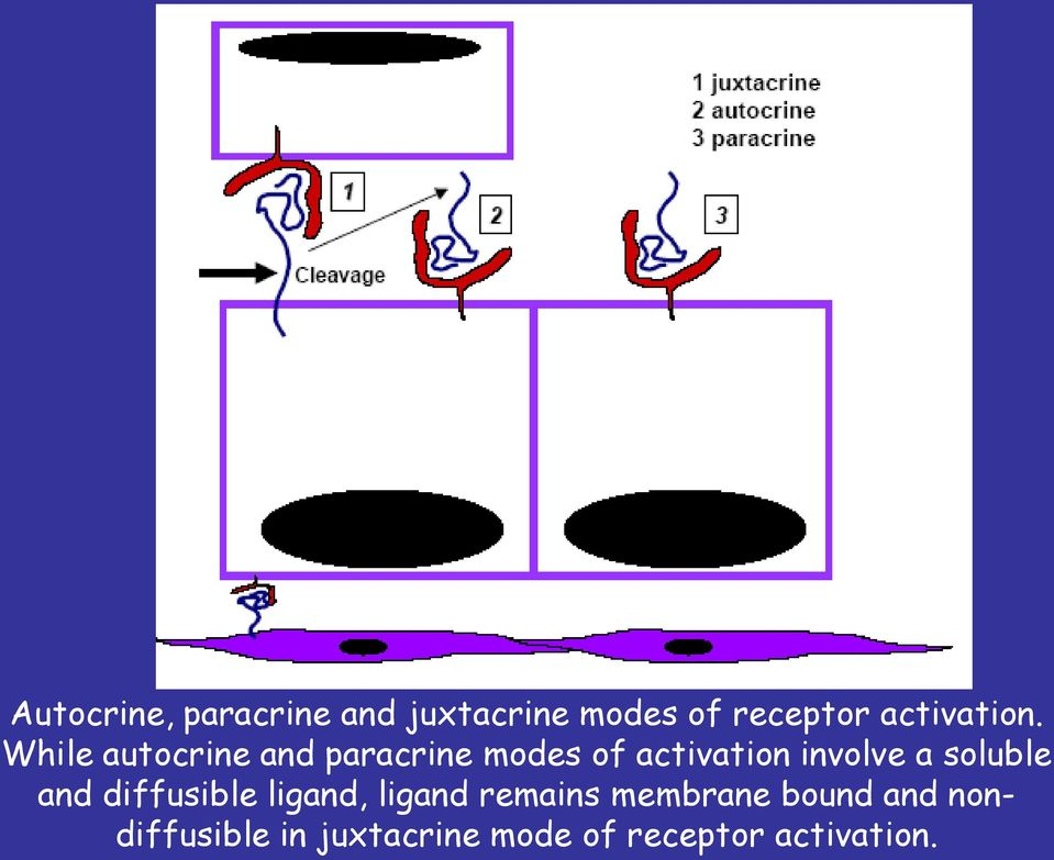 While autocrine and paracrine modes of activation involve a