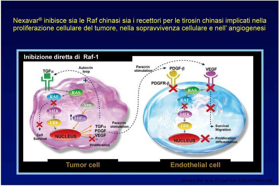 stimulation PDGF-β VEGF EGFR PDGFR-β VEGFR-2 Cell Survival NUCLEUS TGFα PDGF VEGF Proliferation Paracrin stimulation