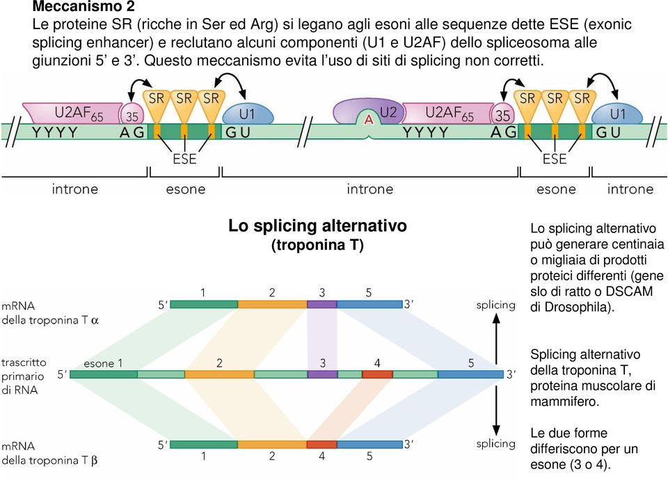 Lo splicing alternativo (troponina T) Lo splicing alternativo può generare centinaia o migliaia di prodotti proteici differenti (gene slo