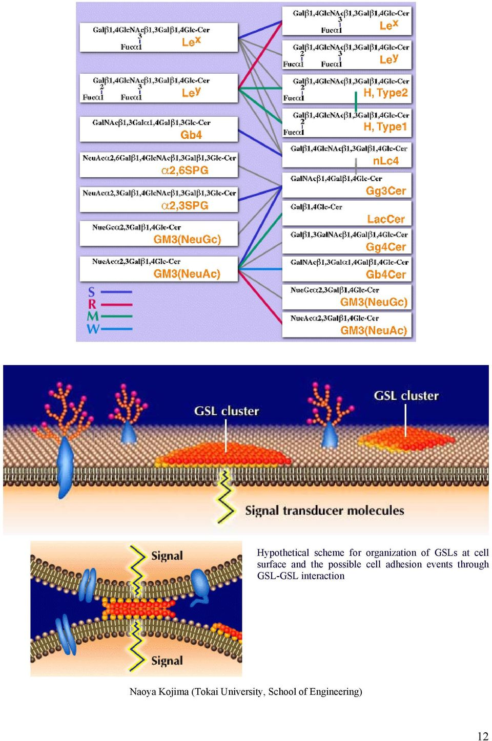 adhesion events through GSL-GSL interaction
