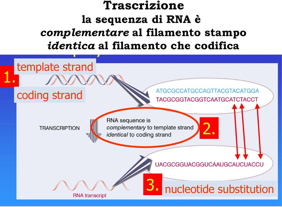 codifica RNA polymerase makes RNA template