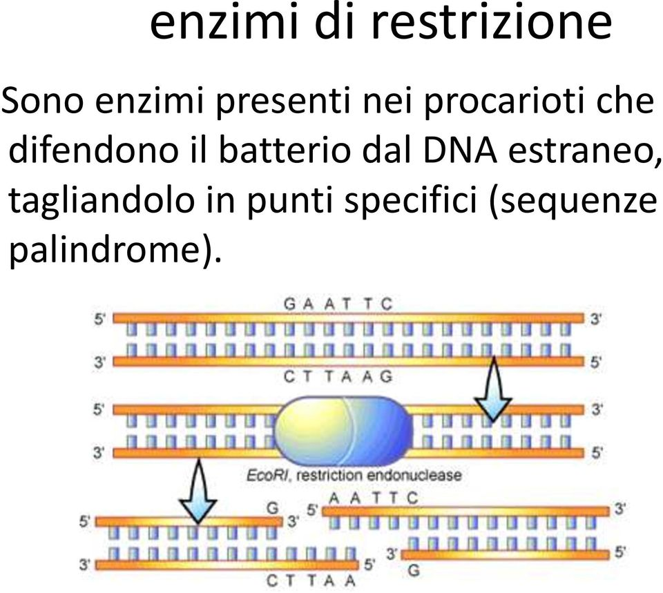 il batterio dal DNA estraneo,