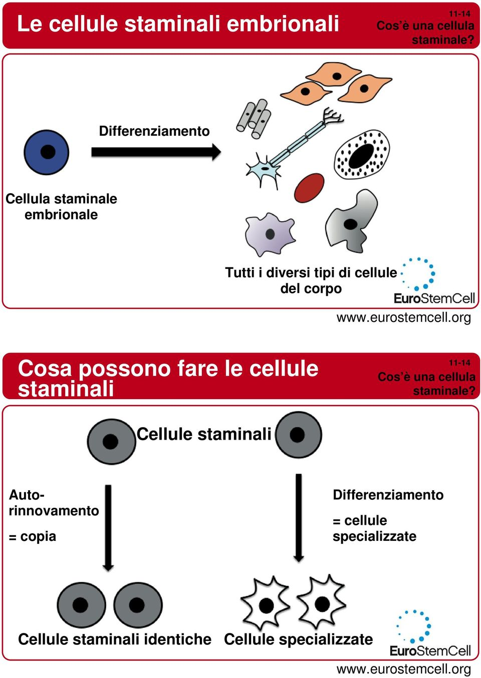 Cosa possono fare le cellule staminali Cos è una cellula staminale?