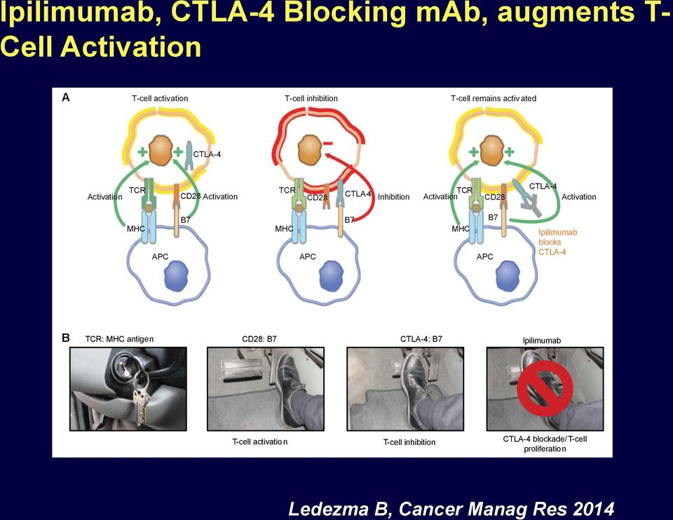 against tumor antigens and their activity harnessed for treatment of cancer.