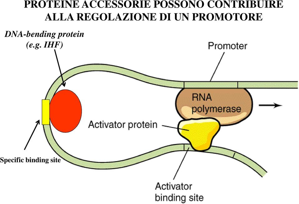 UN PROMOTORE DNA-bending