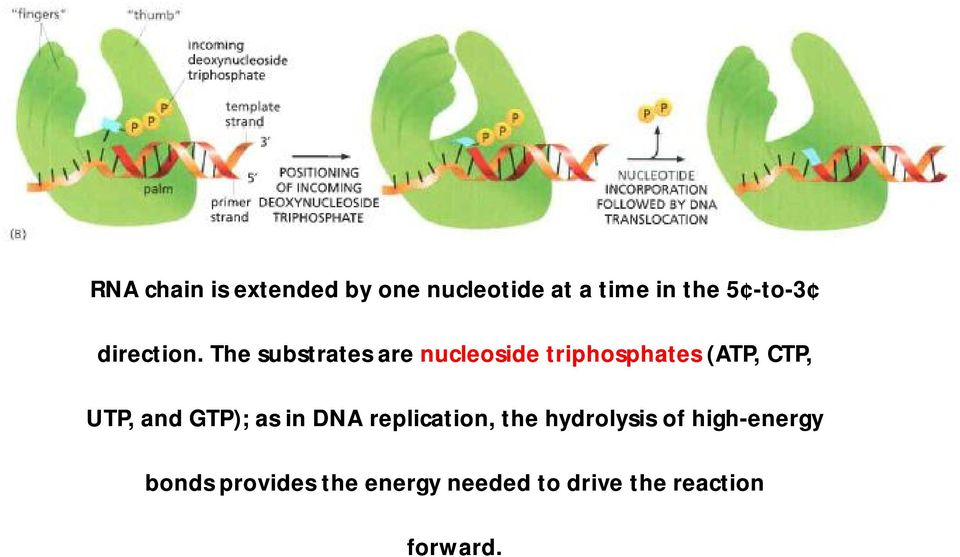 The substrates are nucleoside triphosphates (ATP, CTP, UTP, and