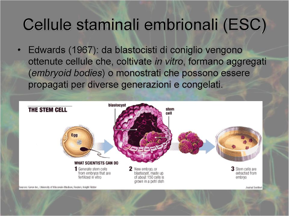 coltivate in vitro, formano aggregati (embryoid bodies) o