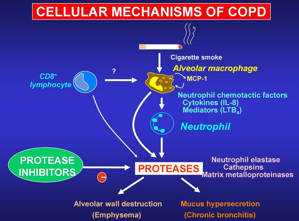 (IL-8) Mediators (LTB 4 ) Neutrophil PROTEASE INHIBITORS - PROTEASES Neutrophil