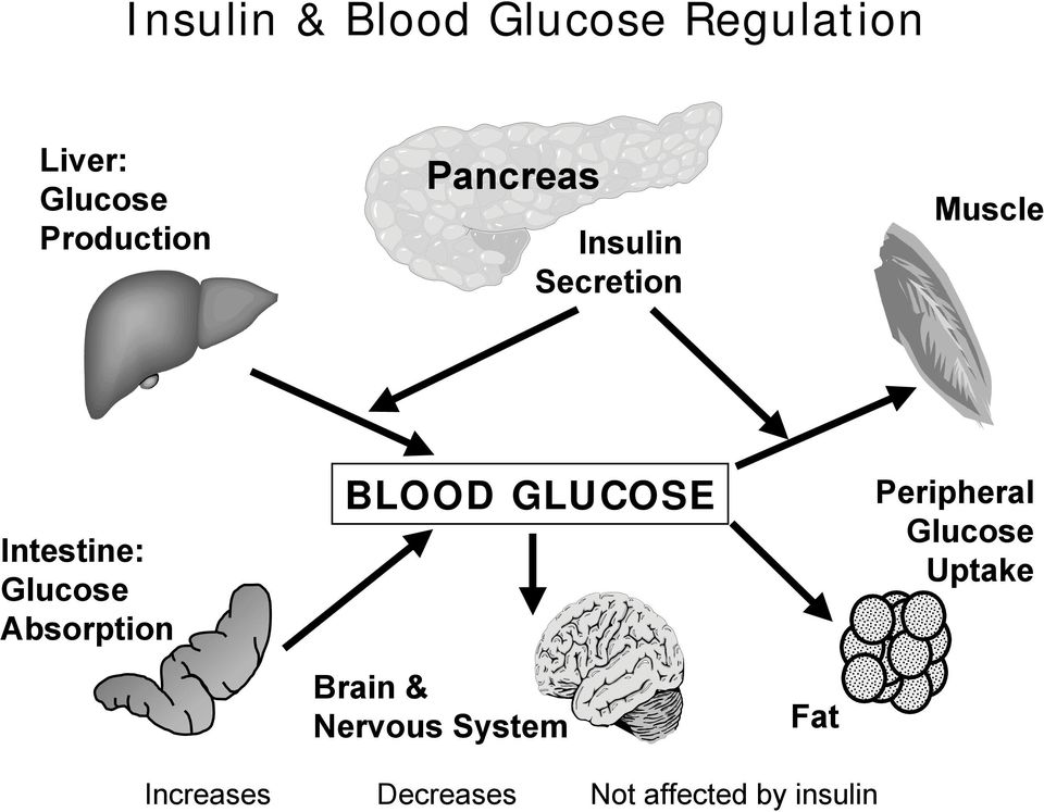Glucose Absorption BLOOD GLUCOSE Brain & Nervous System