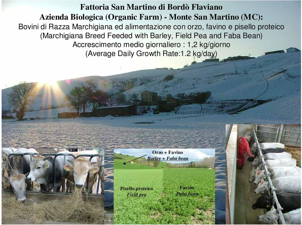 Feeded with Barley, Field Pea and Faba Bean) Accrescimento medio giornaliero : 1,2 kg/giorno (Average