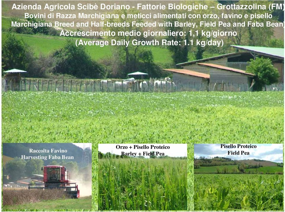 Field Pea and Faba Bean) Accrescimento medio giornaliero: 1,1 kg/giorno (Average Daily Growth Rate: 1.