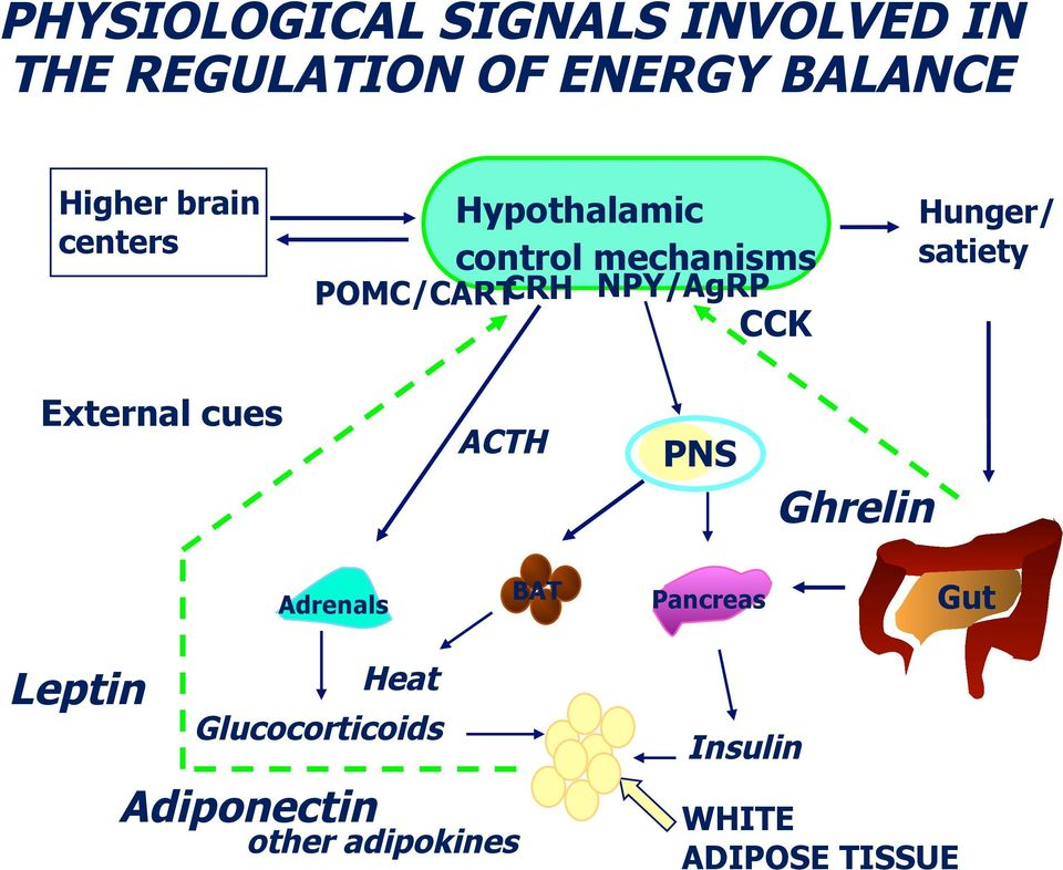 Hunger/ satiety External cues ACTH PNS Ghrelin Adrenals BAT Pancreas Gut