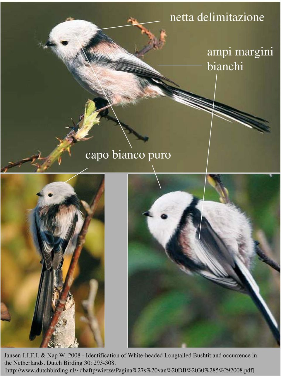 2008 - Identification of White-headed Longtailed Bushtit and occurrence