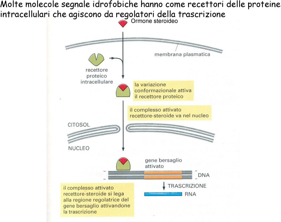 intracellulari che agiscono da