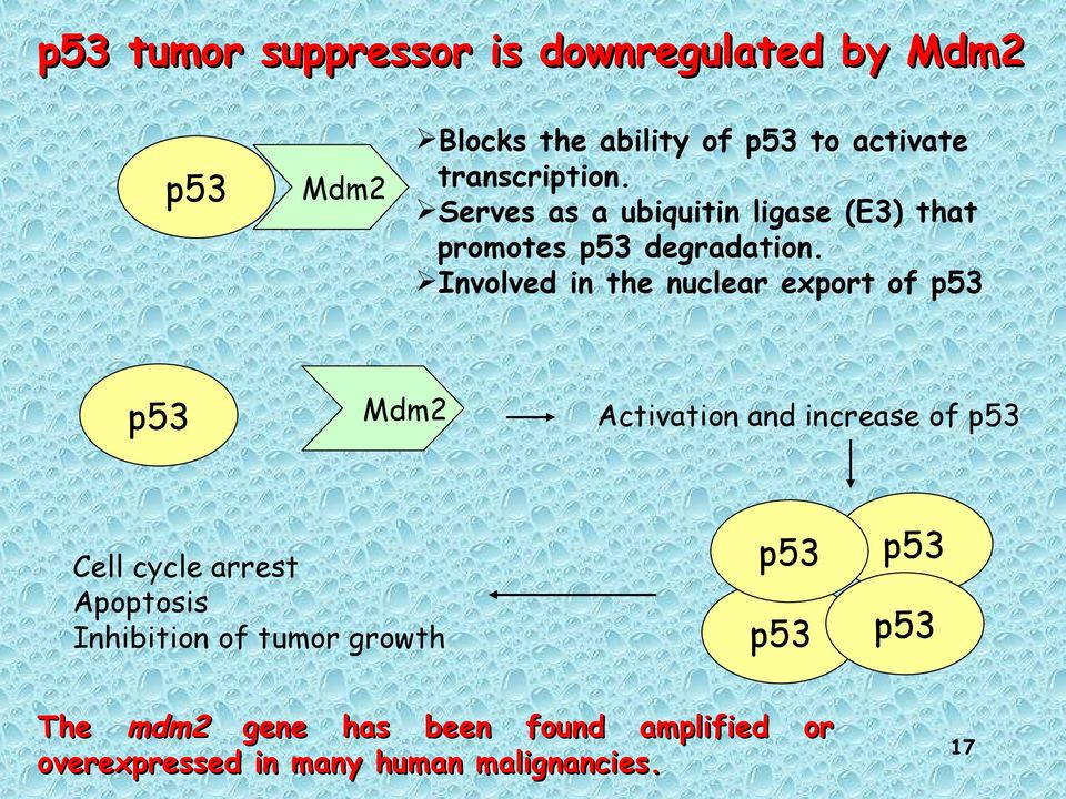 Involved in the nuclear export of p53 Mdm2 Cell cycle arrest Apoptosis Inhibition of tumor growth