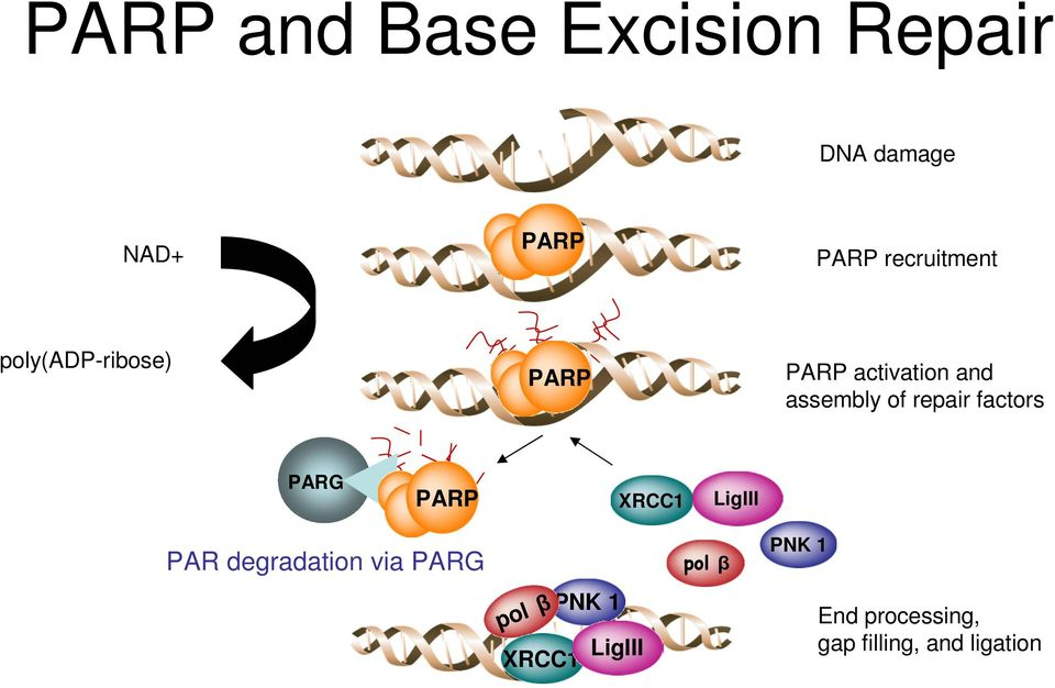 repair factors PARG PARP XRCC1 LigIII PAR degradation via PARG