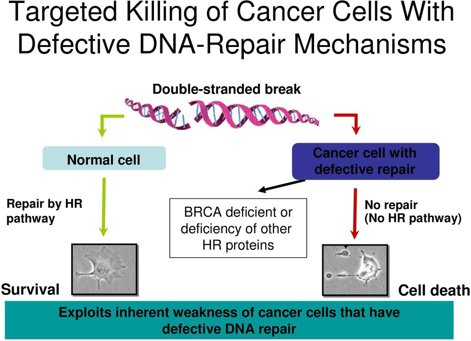 pathway BRCA deficient or deficiency of other HR proteins No repair (No HR