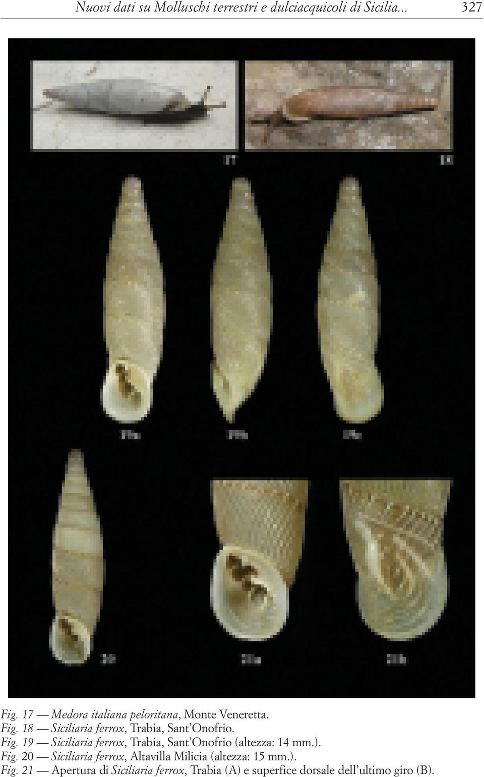 Fig. 19 Siciliaria ferrox, Trabia, Sant Onofrio (altezza: 14 mm.). Fig.