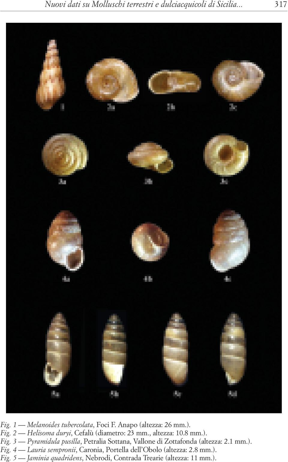 1 mm.). Fig. 4 Lauria sempronii, Caronia, Portella dell Obolo (altezza: 2.8 mm.). Fig. 5 Jaminia quadridens, Nebrodi, Contrada Trearie (altezza: 11 mm.