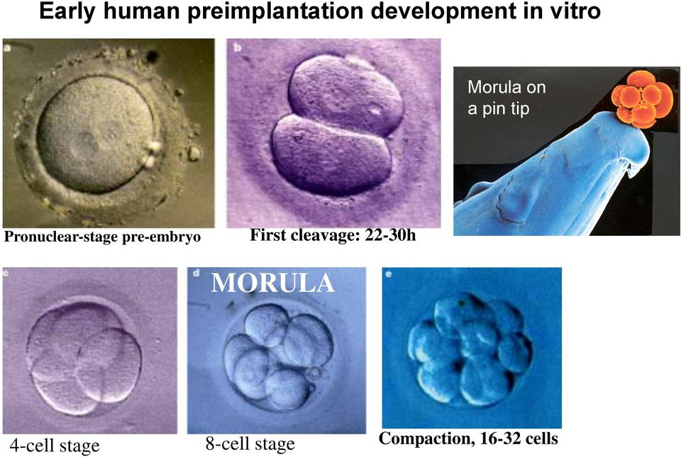 pre-embryo First cleavage: 22-30h MORULA