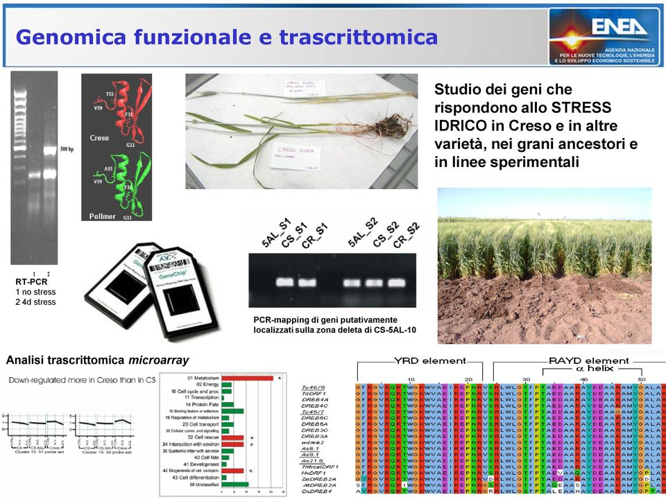 sperimentali RT-PCR 1 no stress 2 4d stress PCR-mapping di geni