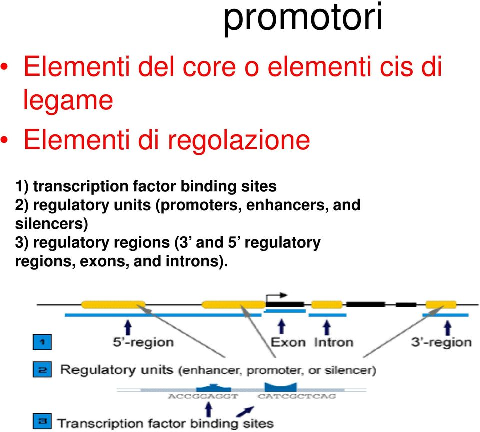 sites 2) regulatory units (promoters, enhancers, and