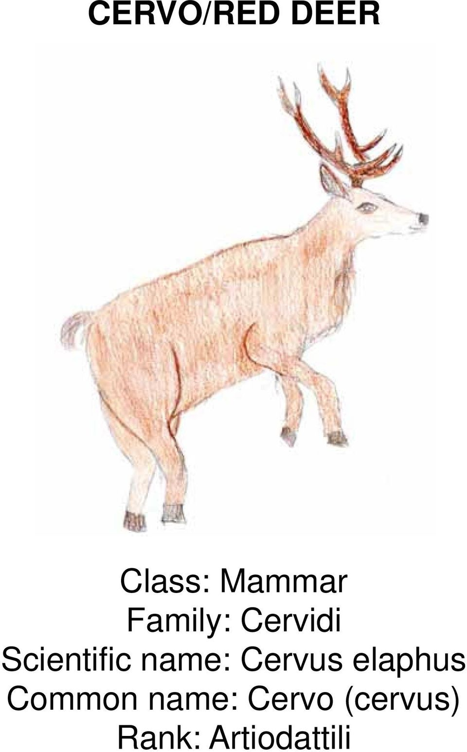 name: Cervus elaphus Common