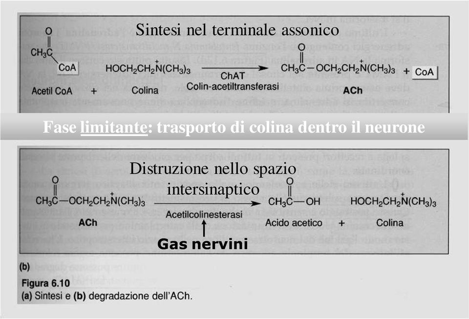 colina dentro il neurone