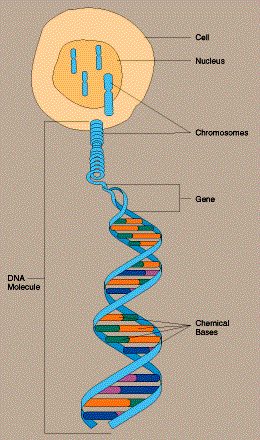 What is a SNP? Example of a given sequence of bases in a fragment of DNA:...CCATTGACTT......CCTTTGACTT.