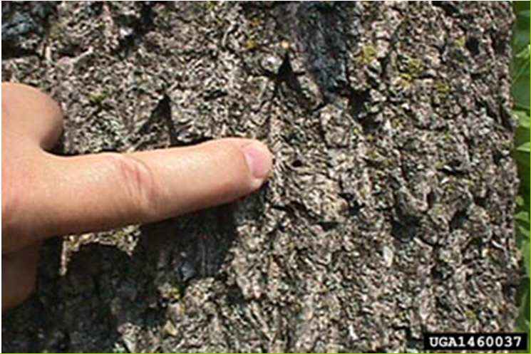 Fori di sfarfallamento 3-4 mm Foto: Pennsylvania Department of Conservation and Natural Resources