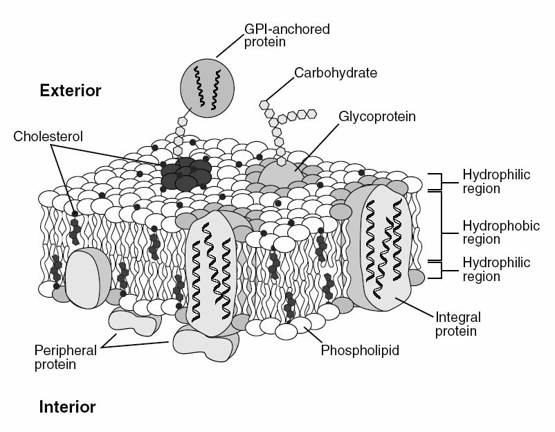 Basic Model of Membrane Structure Singer and Nicolson (1972) Fluid mosaic model Lipids are fluid, i.e. free to move in two dimensions.