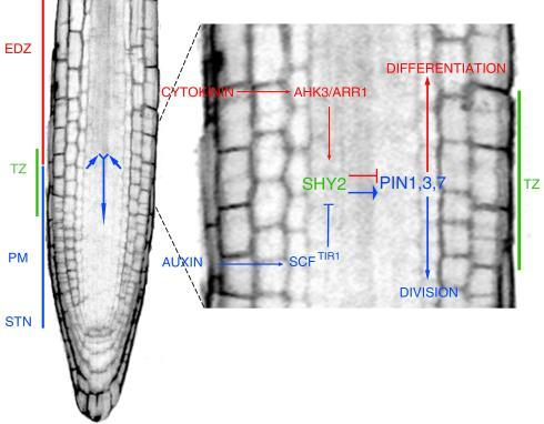 Arabidopsis root: auxin may play in plant development the same role that morphogens play in animals SCR is cell-autonomously required for distal