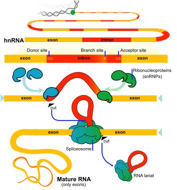 mrna Splicing hnrna
