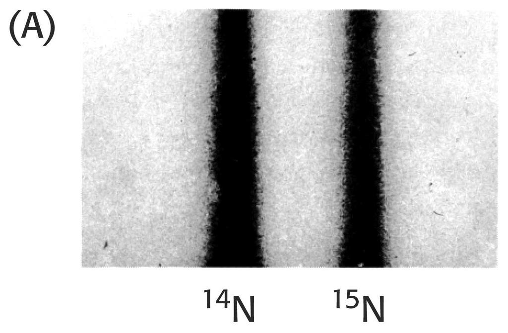 N DNA & 15N DNA 14 1958, Meselson & Stahl experiment, resolution by