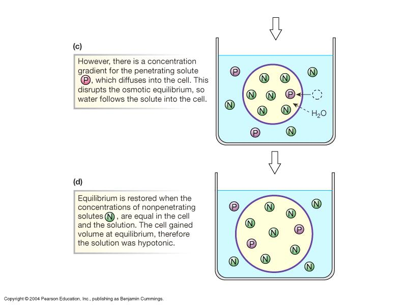 Tonicity: How a Cell Reacts in a Solution Tonicity