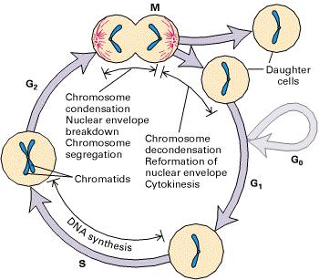 The fate of a single parental chromosome throughout the eukaryotic cell cycle. Following mitosis (M), daughter cells contain 2n chromosomes in diploid organisms.